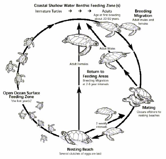 Generalized-life-cycle-of-sea-turtles-Source-Lanyon-J-M-C-J-Limpus-H-Marsh